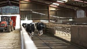 Dairy cows in milking barn