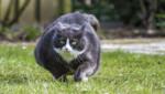 Un chat en surpoids