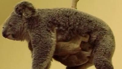 TF1/LCI : Une femelle koala australienne