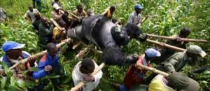 Congo : ces gorilles étaient menacés de disparition
