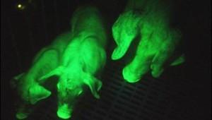 Cochons transgéniques verts