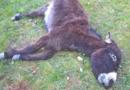 L'âne de Fabrice Riva tué à la ferme de Chassigny