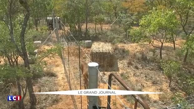 Battus, affamés, ils n'avaient jamais foulé l'herbe : 33 lions retrouvent la liberté