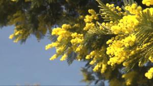 Le 13 heures du 5 janvier 2015 : Le mimosa, le soleil de l%u2019hiver - 1912.4769999999999
