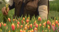 Le 13 heures du 30 janvier 2015 : Un avant-goût de printemps avec les tulipes - 1732.843