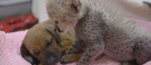 chiot guepard