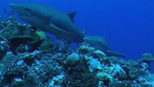 requins squales NE PAS UTILISER en dehors du festival d'Antibes