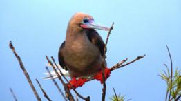 voici un oiseau fou à pieds rouges.