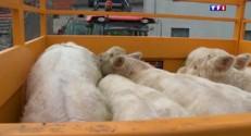 Fièvre catarrhale, les élevages surveillés de près