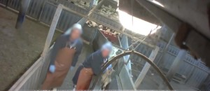 Maltraitance animale : la vidéo choc dans un abattoir des Pyrénées-Atlantiques
