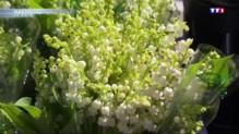 Le muguet, la fleur à clochettes aux multiples secrets