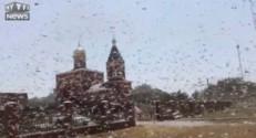 Invasion de criquets en Russie