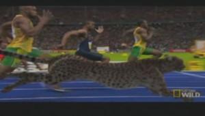 Quand Usain Bolt et un guépard sprintent sur 100 mètres