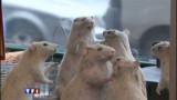 Les rats ne sont pas des... rats