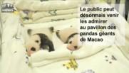La première apparition publique de 2 bébés pandas âgés d'un mois