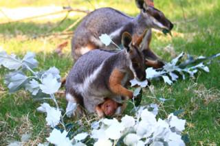 Un bébé kangourou sauvé grâce à une maman wallaby