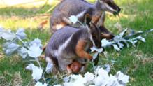 Un kangourou a survécu grâce à une maman wallaby.