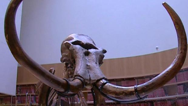 TF1-LCI mammouth fossile