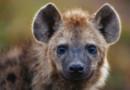 Des excréments ont permis à des scientifiques de reconstituer une partie du génome de la hyène des cavernes, une espère préhistorique disparue, proche parente de la hyène d'aujourd'hui.