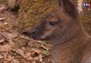 Le 20 heures du 27 juillet 2015 : Yvelines : des kangourous dans la forêt de Rambouillet - 1807