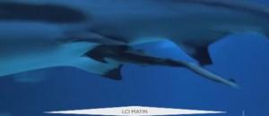 Requin Aquarium Capture