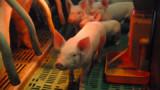 Lâcher de cochons pour défendre les prix