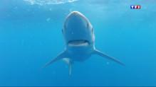 Le 13 heures du 28 juillet 2014 : Des requins bleus aper� en M�terran�: que viennent-ils faire l� - 1472.367