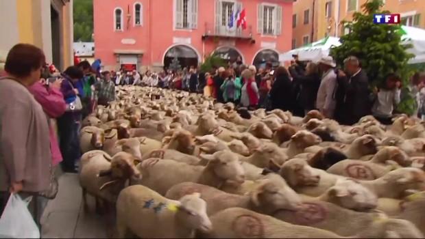 Le départ en transhumance des moutons, une fête pour les habitants des Alpes-Maritimes