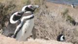 Dans la peau d'un pingouin chasseur