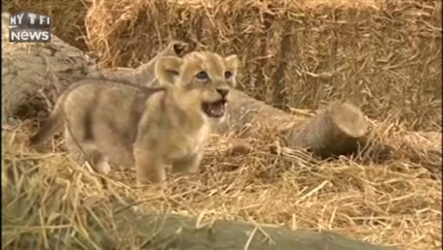Premier bain médiatique pour le lionceau star d'un zoo péruvien