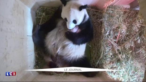 Une naissance de pandas pas comme les autres