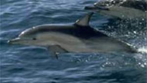 dauphin mer océan