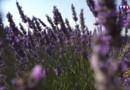 Le 20 heures du 27 juillet 2015 : En Provence, les producteurs de lavande ne connaissent pas la crise. - 834