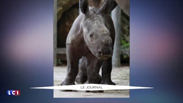 La naissance d'un rhinocéros blanc au zoo d'Amneville, un évènement rarissime