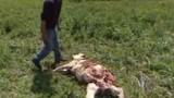 La chasse au loup se poursuit
