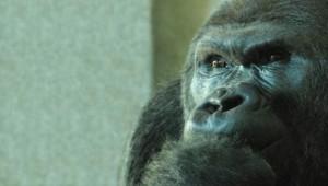 Gorille singes