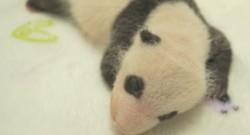 PANDAS MACAO