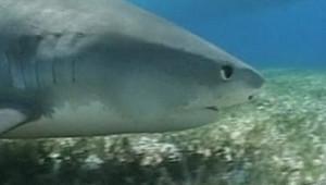 Un requin (archives).