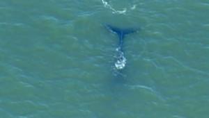 Baleine dans le port de New-York (9 avril 2009)