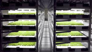 Spread laitues salades robots usine robotisée Japon