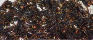 C'est la saison des frelons asiatiques en Charente-Maritime
