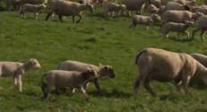 Le 20 heures du 19 octobre 2014 : La fili� ovine se mobilise pour trouver de nouveaux bergers - 1699.1653911132812