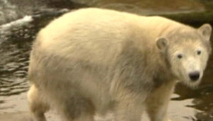 L'ours Knut à un an