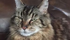 Corduroy est désormais le plus vieux chat du monde.