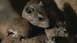 OGM : l'étude choc sur des rats