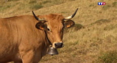 Le 13 heures du 30 juillet 2015 : Dans l'Aubrac, les vaches font la fierté de la région - 1880