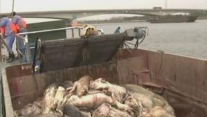 Plus de 900 cochons ont été repêchés dans la rivière Huangpu qui alimente en eau potable Shanghai.