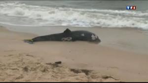 Le 20 heures du 12 août 2013 : Etats-Unis : le taux de mortalit�es dauphins explose sur la c�est - 666.972
