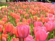 Le 13 heures du 28 avril 2015 : explosions de couleurs hollandaises au parc Keukhnof - 1801.143