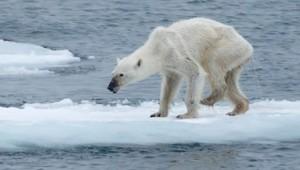 ours polaire maigre rechauffement climatique